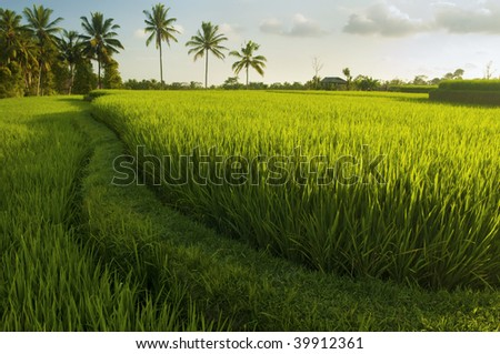 Terrace rice fields in evening sunset, Bali, Indonesia.
