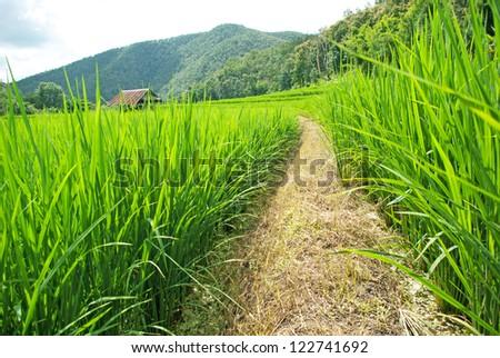 Terrace rice fields in Mae chaem, Chaing Mai, Thailand