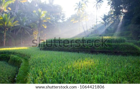Terrace rice fields in Ubud, Bali, Indonesia #1064421806