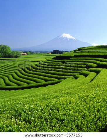 Terraced green tea fields with snow-capped Mount Fuji