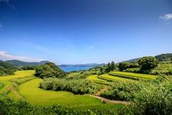 Terraced rice field in Japan