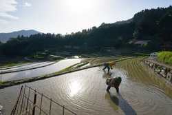 Terraced Rice Field in Japan. The Farmer planting on the paddy rice farmland.