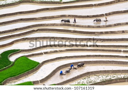 Terraced rice fields - four farmers at work, the old fashion way, plowing the land with buffalo in Mu Cang Chai, Vietnam