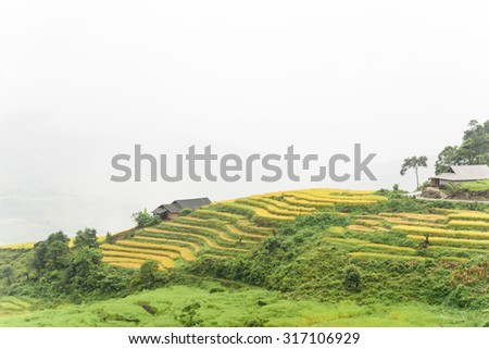 Terraced rice fields in harvest season with a small tent/stilt house in between in an early foggy and raining morning. This paddy rice farms are grown by Dao ethnic people in Y Ty, Lao Cai, Vietnam