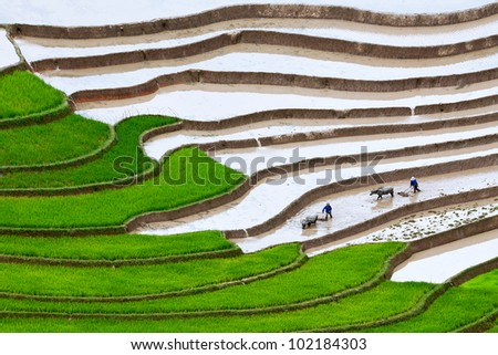 terraced rice fields. Two farmers at work, the old fashion way, plowing the land with buffalo (Mu Cang Chai, Yen Bai, Vietnam)