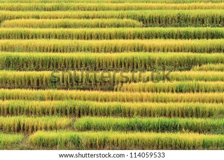 Terraced rice on Mountain, Chiangmai Province, Northern of Thailand.