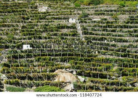 Terraced vineyards in the Valle d'Aosta - Italy