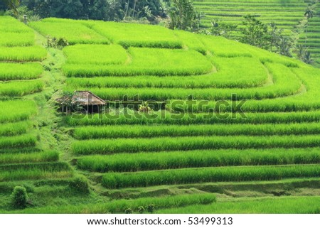 Terraces Paddy Field at Bali Indonesia