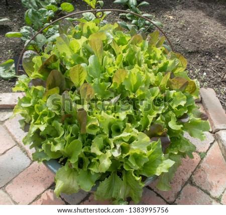 Terracotta Flower Pot of Home Grown Organic Salad Leaves 'Gourmet Mix' on an Allotment in a Vegetable Garden in Rural Devon, England, UK