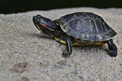 Terrapin turtle on a rock