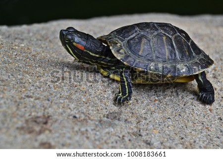Terrapin turtle on a rock - Shutterstock ID 1008183661