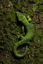 Terrestrial Arboreal Alligator Lizard Abronia graminea