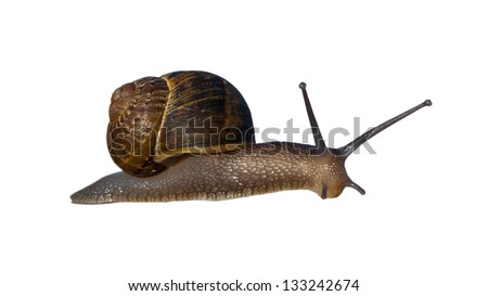 Terrestrial Helix snail with right-handed coiled shell; isolated