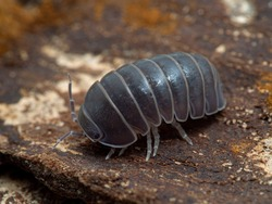 Terrestrial isopod (Armadillo officinalis) commonly called the oak-woodland pillbug or plain pill woodlouse, on bark, 3/4 view. This species can roll itself into a tight ball to protect itself