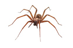 terrible house spider on white background