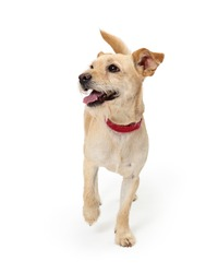 Terrier puppy dog with scruffy light color fur walking forward lifting paw looking to side