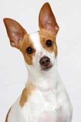 Terrier tilting head.