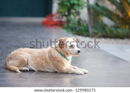 Terrier waiting for his family to return