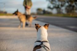 Terrier with raised ears staring at german shepherd in distance