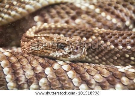 terrifying rattlesnake coiled - stock photo