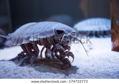 Terrifying Sea Beast: Bathynomus giganteus or Giant isopod