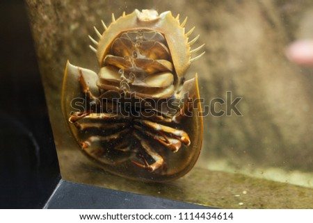 Terrifying Sea Beast: Bathynomus giganteus or Giant isopod Horseshoe crabs are marine arthropods of the family Limulidae, suborder Xiphosurida