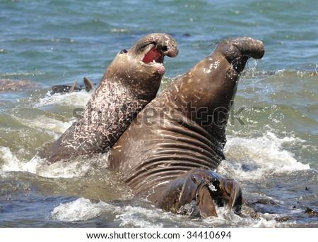 Elephant Seals Big Sur Seals Fighting Big Sur