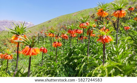 Ters Lale: It is an endemic species belonging to the Anatolian geography. The 'reverse Tulip' in Hakkari's Cilo Mountains is one of the most rare flowers in the world. The Other name; crying bride. Stock fotó ©