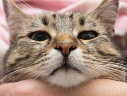 Tesla nose.  Funny large shorthaired gray tabby cute kitten with beautiful green eyes. Cat face.