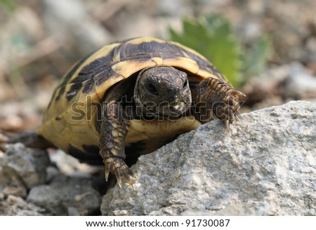 Testudo hermanni - Hermann's tortoise - one of Europe's protected species of reptiles