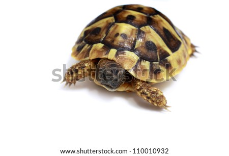 Testudo hermanni tortoise baby on white background - stock photo