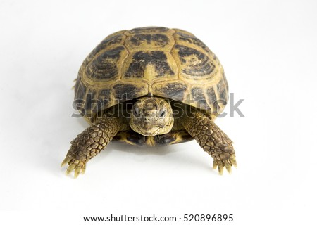 Testudo horsfieldii - a juvenile Russian tortoise, also known as the Central Asian tortoise or Horsfield's tortoise on a white background. The tortoise is facing the camera.