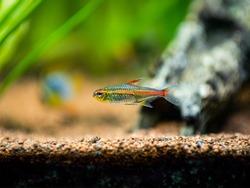 tetra growlight (Hemigrammus Erythrozonus) isolated in a fish tank with blurred background