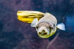 Tetraodon Mbu Puffer Fish in aquarium