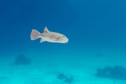Tetraodontidae or pufferfish, puffers, balloonfish, blowfish, blowies, bubblefish, globefish, swellfish, toadfish, toadies, honey toads, sugar toads, sea squab. Underwater photo of fuga fish