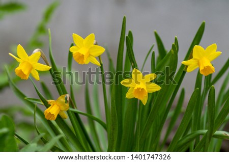 Tette a Tete daffodils are miniature daffodils and are fragrant beauties that spread naturally and make great border plants for spring gardens. Stock fotó ©