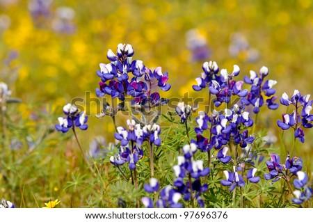 Texas Blue Bonnet