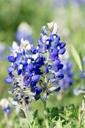 Texas blue bonnet, close-up