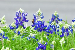 Texas Blue Bonnets attract a Bee
