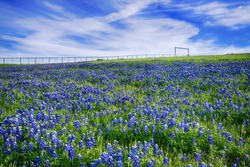 Texas Bluebonnet field blooming in the spring, bright blue sky with white clouds