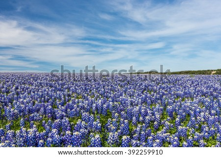 Texas Bluebonnet filed and blue sky background in Muleshoe bend, Austin