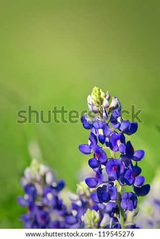 Texas Bluebonnets (Lupinus texensis) blooming in spring. Green background with copy space.