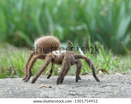 Texas Brown Tarantula standing in front of grass