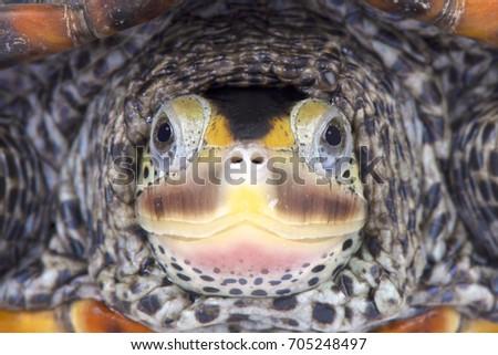 Texas Diamondback terrapin, Malaclemys terrapin littoralis - Shutterstock ID 705248497