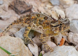 Texas Horned Lizard, Phyrnosoma cornutum