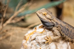 Texas horned lizard. The oriental garden lizard, eastern garden lizard, bloodsucker or changeable lizard