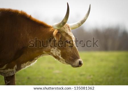Texas Long Horn grazing in a field