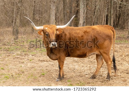 Texas Longhorn beef cattle cow, Bos taurus, with typical long horns. Brown bovine standing broadside in a pasture near trees. Stockfoto ©