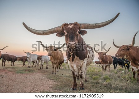 Texas Longhorn bull and cow herd