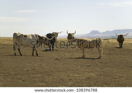 Texas Longhorn cattle grazing on land adjoining historic Fort Robinson, Nebraska